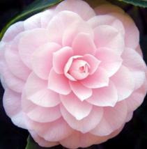 100 Pcs Seeds Camellia Impatiens Balsamina Double Mixed Flower - DL - $18.00