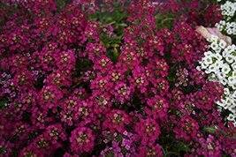 50 Alyssum Easter Bonnet Series Violet Annual Seeds PS - $14.84