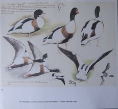 BEAUTIFUL TUNNICLIFFE BIRD PRINT ~ SHELDUCK - $44.18