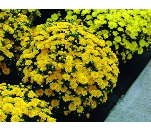 Primary image for 100Pcs/bag Yellow Groundcover Chrysanthemum Perennial Bonsai Flower Seeds