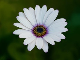 40 Seeds White African Daisy Annual Flower  - $16.65