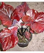 100Pcs Thailand Caladium bicolor Flower Plant Seed Colocasia - $14.95