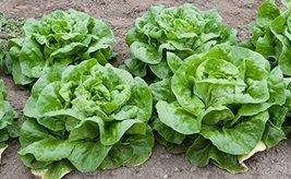 100 Seeds of Big Boston Lettuce - $16.83