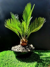 Cycas revoluta / Japanese sago palm - 9 year old plant - $71.30