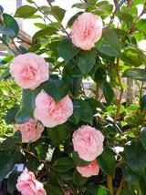 Camellia Japonica Debutante Pink Quart Pot Live Plant  - $43.99