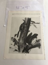 Grizzly Bear 21 Book Plate Picture Art John James Audubon 9x12 - $19.80