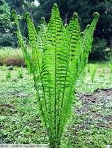 TN OSTRICH/GLADE FERN 5 rhizome/root- (Matteuccia struthiopteris) - $28.49