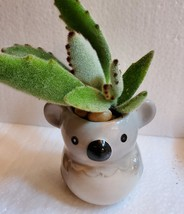 "Succulent in Koala Planter, Panda Plant, 2.5"" ceramic image 2"