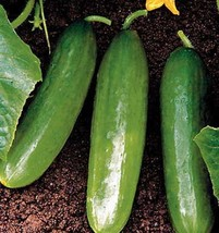 SHIP From US, 100 Seeds Diva F1 Cucumber Seeds, Vegetable Seed AM - $45.99