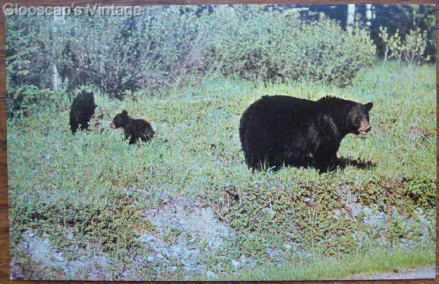 1950's PC Mother Black Bear and Cubs View, BC