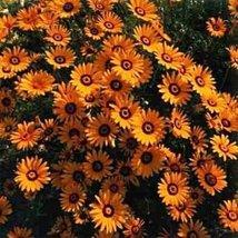 African Daisy - Orange- 50 Seeds - $1.29