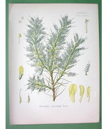 PERSIAN MANNA Flower Plant Astragalus Adscendens - COLOR Litho Botanical... - $19.05