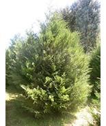 10 Murray Cypress Evergreen - $198.00