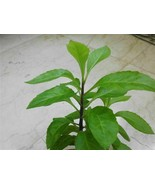 Longevity Spinach starter plant - $11.87