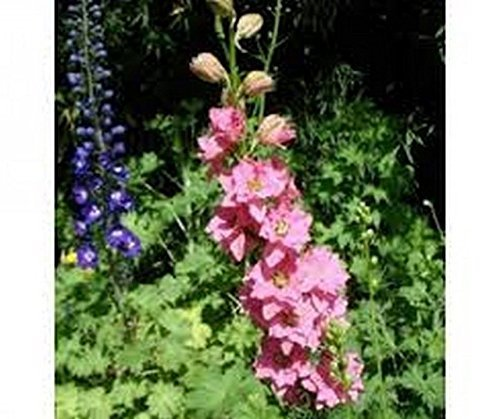 50 Delphinium Larkspur (Rose Queen) Seeds