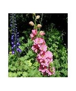 50 Delphinium Larkspur (Rose Queen) Seeds - $6.93