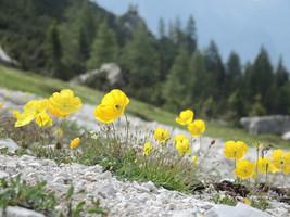 10 Papaver alpinum ssp. rhaeticum Seeds, Rhaetian Poppy or Golden Tuft S... - $8.00