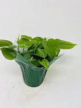 """Heart Leaf Philodendron - Easy to Grow- 4"""" Pot/ Decorative Cover - $17.63"""