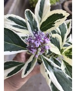 HYDRANGEA Macrophylla Maculata Silver Lace Cap Variegated Leaves Pink - $9.49