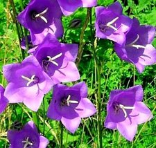 157 Seeds of Peach Leaf Bellflower Blue And White Mix - $9.89