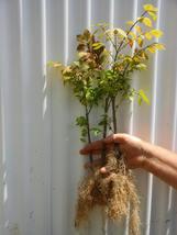 DWARF BURNING BUSH 1 bare root plant  (Euonymus Alatus) image 3