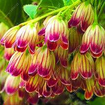 100 pcs/bag Bell Orchid Flower Campanula bonsai seeds 9 colors Convallaria [7] - $5.99