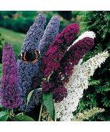 100+ Seeds - Non GMO - Mix Butterfly Bush Buddleia Davidii - $9.90