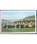Haynes, White Bordered Postcard, Buffalo Herd Stampede, Yell - $6.00