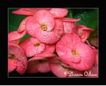 Df 0071 crown thumb155 crop