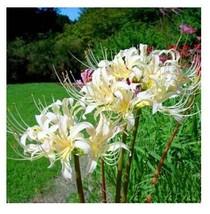 50Pcs Rare Yellow White Lycoris Bonsai Potted Flower Flores Garden Plant Seeds - $9.40