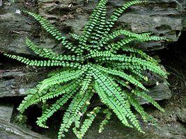 MAIDENHAIR SPLEENWORT fern 5 rhizome -(Asplenium platyneuron) image 3
