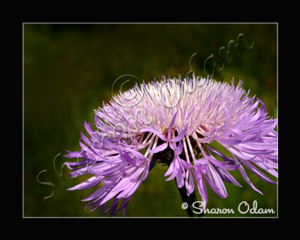Wild Purple Aster - Photographic Art Print - WF0142C