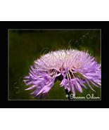 Wild Purple Aster - Photographic Art Print - WF0142C - $17.50