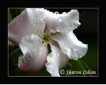 Wf 0111 pink rain drops thumb155 crop