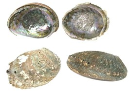 Lot of 4 Abalone Shells - $35.99