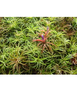 25 Air Plants - Small Tillandsia - Events, Wedding, Shower, Guest Favors... - $40.00