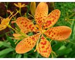 Blackberry lily detail thumb155 crop