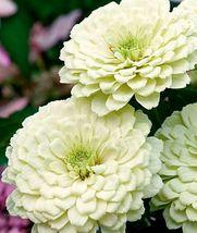 20 Zinnia white Seeds Zinnia flower Seeds Beautiful white Flower seeds - $4.99