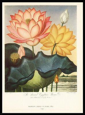 Sacred Egypt Beane 1938 Dunthorne Flower Fruit Antique Print