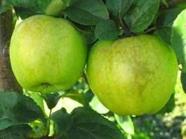 3 VarietyEdible Fruit Antonovka Apple Malus Domestica Fresh Tree Seeds #IMA49 - $14.99+