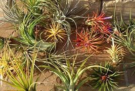 Air Plants Mix of 50 Airplant, Tillandsia, Wedding Favors, Terrariums - $99.00