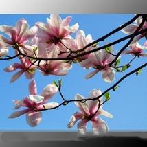 10 Seed Heirloom Chinese Red Yellow Pink White Yulan, DIY Beautiful Tree... - $8.99