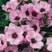 50 Light Pink Geranium Seeds Hanging Basket Perennial Flowers - TTS - $29.95