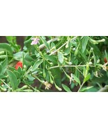 "ORGANIC GOJI BERRY plant (('Crimson Star') (BARE ROOT)1 yr  6"" to 8"" LG 2 COUNT  - $20.00"