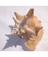 PINK QUEEN SEA SHELL Strombus Gigas large - $34.65