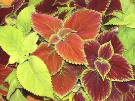 Coleus Rainbow Mix Seeds. 3500 seeds, or 1 gram - $11.96