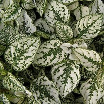 Hypoestes Seeds Splash Select White Hypoestes Seeds 150 Seeds Flower See... - $43.07