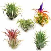 Air Plants - Ionantha Mexican - Set Of 5 Air Plants - Colors Vary Throug... - $17.81
