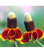 Mexican Hat Wildflower Seeds. 60K seeds, or 2 oz - $37.50
