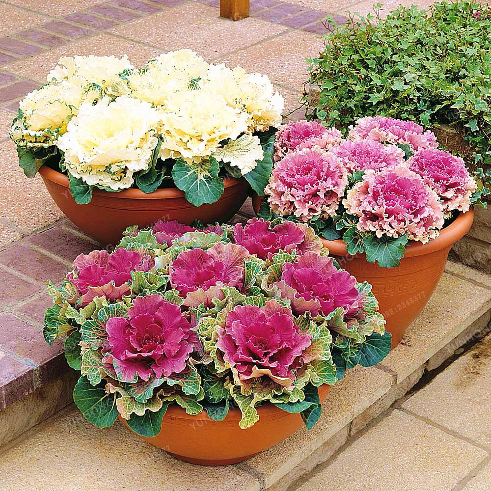 Planting Kale In Pots: 100 Pcs MIX Colors Kale Seeds Flowering Ornamental Cabbage